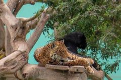 Επισημασμένος ιαγουάρος και μαύρο πάνθηρων στο δέντρο Parque de las Leyendas Zoo στο της Λίμα Περού S Αμερική στοκ φωτογραφία με δικαίωμα ελεύθερης χρήσης