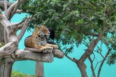 Επισημασμένος ιαγουάρος και μαύρο πάνθηρων στο δέντρο Parque de las Leyendas Zoo στο της Λίμα Περού S Αμερική στοκ εικόνες