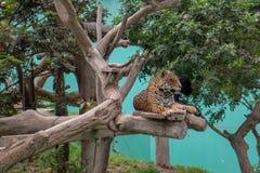 Επισημασμένος ιαγουάρος και μαύρο πάνθηρων στο δέντρο Parque de las Leyendas Zoo στο της Λίμα Περού S Αμερική στοκ φωτογραφίες με δικαίωμα ελεύθερης χρήσης