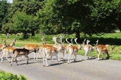 Επισημασμένος κοπάδι διαγώνιος δρόμος deers Στοκ εικόνες με δικαίωμα ελεύθερης χρήσης