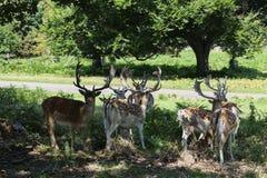 Επισημασμένος κοπάδι διαγώνιος δρόμος deers Στοκ Φωτογραφίες