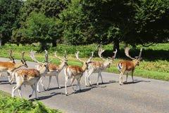 Επισημασμένος κοπάδι διαγώνιος δρόμος deers Στοκ Εικόνες