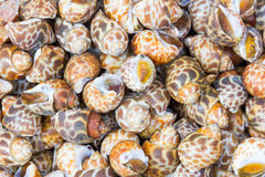 Επισημασμένος babylon ή areolata Babylonia στοκ φωτογραφία με δικαίωμα ελεύθερης χρήσης