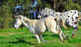 Επισημασμένο άλογο appaloosa που τρέχει με ένα άσπρο άλογο Στοκ Εικόνες