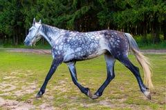 Επισημασμένο γκρίζο άλογο που τρέχει με το μόλυβδο Στοκ φωτογραφία με δικαίωμα ελεύθερης χρήσης