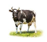 Επισημασμένο γραπτό πλήρες μήκος αγελάδων που απομονώνεται στο λευκό στοκ φωτογραφία με δικαίωμα ελεύθερης χρήσης