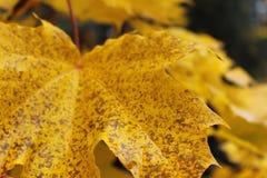 Επισημασμένο κίτρινο φύλλο στοκ φωτογραφίες