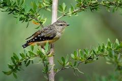 Επισημασμένο μικρό αυστραλιανό πουλί punctatus Pardalote - Pardalotus, όμορφα χρώματα, στο δάσος στην Αυστραλία, Τασμανία στοκ εικόνα