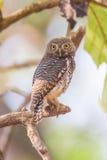 Επισημασμένο πορτρέτο owlet Στοκ Εικόνα