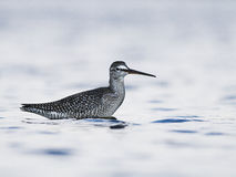 Επισημασμένο πουλί μαυρότρυγων Στοκ Φωτογραφίες
