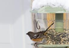 Επισημασμένο πουλί Towhee στον τροφοδότη που αντιμετωπίζει αριστερά στοκ φωτογραφίες με δικαίωμα ελεύθερης χρήσης