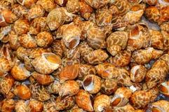 Επισημασμένο σπειροειδές σαλιγκάρι babylon Στοκ εικόνες με δικαίωμα ελεύθερης χρήσης