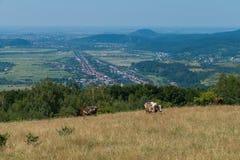 Επισημασμένο, το κόκκινο, καλά-που ταΐζεται τις αγελάδες βόσκει σε ένα λιβάδι με την ξηρά χλόη Στην απόσταση μπορείτε να δείτε τη στοκ εικόνες