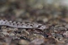 Επισημασμένο φύλλο-μυρισμένο φίδι Στοκ Εικόνα