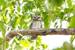 Επισημασμένο brama Athene owlet Στοκ Φωτογραφίες