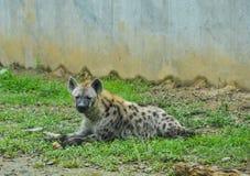 Επισημασμένο crocuta Crocuta hyena στοκ φωτογραφία