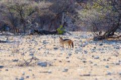 Επισημασμένο Hyena που στέκεται στο θάμνο στην ανατολή Σαφάρι άγριας φύσης στο εθνικό πάρκο Kruger, ο κύριος προορισμός ταξιδιού  Στοκ φωτογραφίες με δικαίωμα ελεύθερης χρήσης