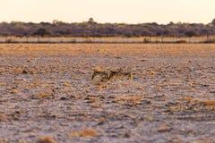 Επισημασμένο Hyena που στέκεται στο θάμνο στην ανατολή Σαφάρι άγριας φύσης στο εθνικό πάρκο Kruger, ο κύριος προορισμός ταξιδιού  Στοκ Εικόνα