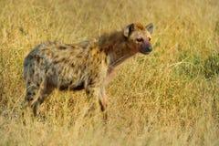 Επισημασμένο Hyena Στοκ φωτογραφία με δικαίωμα ελεύθερης χρήσης