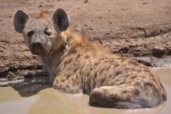 Επισημασμένο Hyena Στοκ Εικόνες