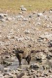 Επισημασμένο Hyena Στοκ Φωτογραφία