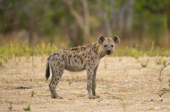 Επισημασμένο Hyena (crocuta Crocuta) που εξετάζει τη κάμερα στοκ εικόνες