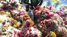 Επισημασμένο moray χέλι λεοπαρδάλεων σε αναζήτηση των τροφίμων υποβρύχιων στο βυθό στις Μαλδίβες φιλμ μικρού μήκους