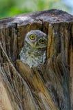 Επισημασμένο owlet που κοιτάζει περίεργα από τη φωλιά τους στο δέντρο κοίλο Στοκ Εικόνες