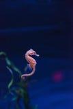 Επισημασμένο seahorse kuda ιππόκαμπων Στοκ Φωτογραφίες