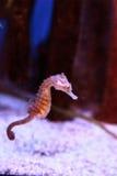 Επισημασμένο seahorse kuda ιππόκαμπων Στοκ Εικόνες