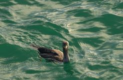 Επισημασμένο shag punctatus Stictocarbo που επιπλέει στο θαλάσσιο νερό στοκ φωτογραφίες με δικαίωμα ελεύθερης χρήσης