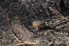 Επισημασμένο Towhee (maculatus Pipilo) στοκ φωτογραφία με δικαίωμα ελεύθερης χρήσης