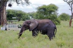 Επισκέπτες στις εικόνες τζιπ του ελέφαντα στο εθνικό πάρκο Tarangire Στοκ Φωτογραφία