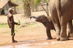 Επιστάτης που δίνει το νερό στον ελέφαντα μωρών Στοκ Φωτογραφία