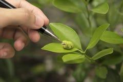 Επιστήμονας βιοτεχνολογίας με το σκουλήκι στο πορτοκάλι φύλλων για την εξέταση Στοκ Εικόνες