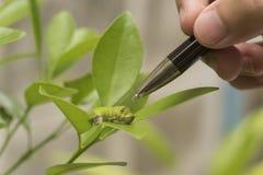 Επιστήμονας βιοτεχνολογίας με το σκουλήκι στο πορτοκάλι φύλλων Στοκ εικόνα με δικαίωμα ελεύθερης χρήσης