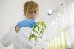 Επιστήμονας που ελέγχει την πρόοδο εγκαταστάσεων μαριχουάνα σε ένα εργαστήριο στοκ εικόνες
