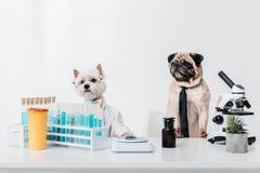 Επιστήμονες σκυλιών στο εργαστήριο Στοκ φωτογραφία με δικαίωμα ελεύθερης χρήσης