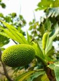 Επιστημονικό όνομα αρτόκαρπων: Artocarpus altilis Στοκ φωτογραφίες με δικαίωμα ελεύθερης χρήσης