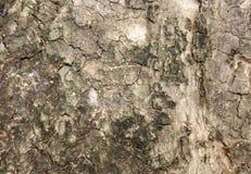 Επιστημονικό όνομα Wa επιφάνειας: Syzygium cumini Στοκ Εικόνες