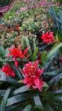 επιστημονικό speciosus ονόματος πιπεροριζών λουλουδιών costus Στοκ Φωτογραφίες