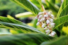 επιστημονικό speciosus ονόματος πιπεροριζών λουλουδιών costus Στοκ εικόνα με δικαίωμα ελεύθερης χρήσης