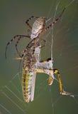 επιτιθειμένος αράχνη χοα&n Στοκ Εικόνες