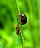 Επιτιθειμένος μυρμήγκι Στοκ Φωτογραφίες