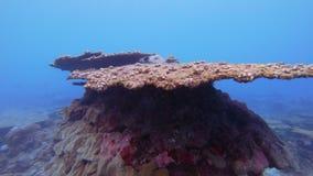 Επιτραπέζιο κοράλλι θανάτου απόθεμα βίντεο