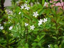 επιτραπέζιο wringhtia λουλουδιών ρ BR antidysenterica BR ή Phut Pitchaya στην Ταϊλάνδη Στοκ εικόνα με δικαίωμα ελεύθερης χρήσης