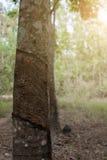 Επιφάνεια και σύσταση με το τρύπημα του λατέξ από το λαστιχένιο δέντρο Στοκ Εικόνα