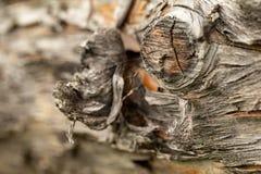 Επιφάνεια του παλαιού κορμού πεύκων Κούτσουρο πεύκων Όμορφος κόμβος πεύκων Κινηματογράφηση σε πρώτο πλάνο ενός κορμού πεύκων στοκ εικόνες