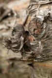 Επιφάνεια του παλαιού κορμού πεύκων Κούτσουρο πεύκων Όμορφος κόμβος πεύκων Κινηματογράφηση σε πρώτο πλάνο ενός κορμού πεύκων στοκ φωτογραφίες με δικαίωμα ελεύθερης χρήσης