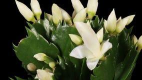 Επιφυτικός κάκτος. Το άσπρο λουλούδι schlumbergera βλαστάνει την ΑΛΦΑ μεταλλίνη, ΠΛΗΡΕΣ HD. (Schlumbergera Bridgesii) απόθεμα βίντεο